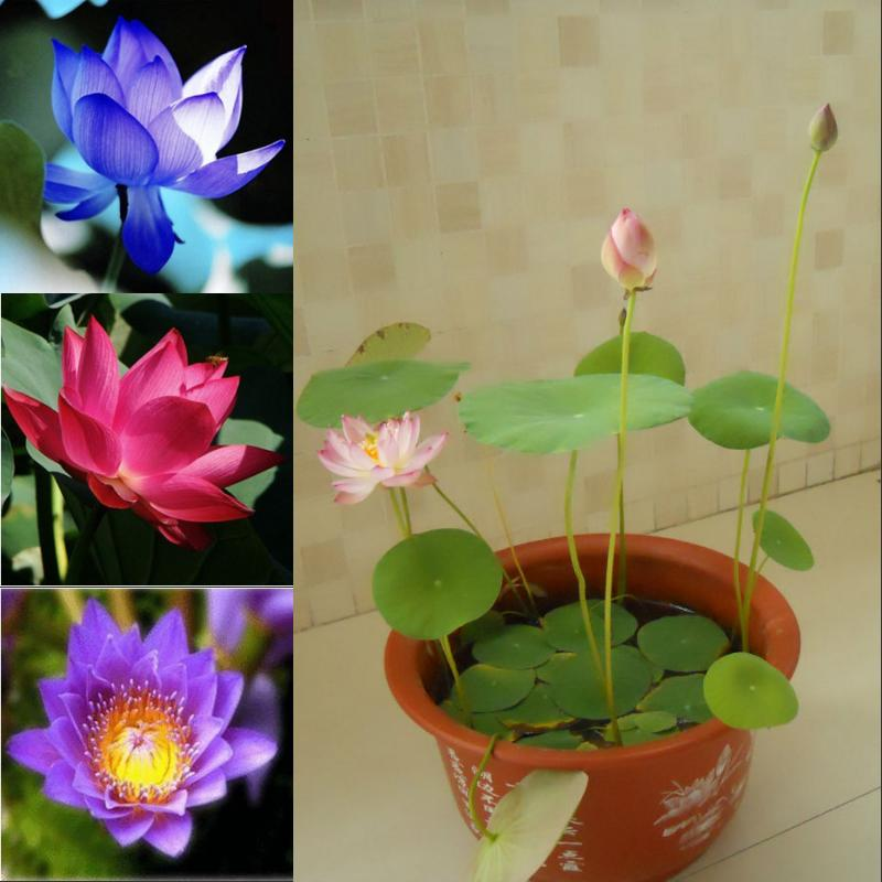 Nelumbo nucifera seeds mini lotus seeds small water lily for Lotus plant for sale
