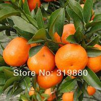 Cheap 50 Pcs Mini Potted Edible Fruit Seeds Bonsai Orange Seeds China Climbing Orange Tree Seeds Free shipping