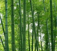 Wholesale 200PCS MOSO BAMBOO HUGE MAO BAMBOO Seeds Phyllostachys pubescens edulis Moso Hardy Bamboo