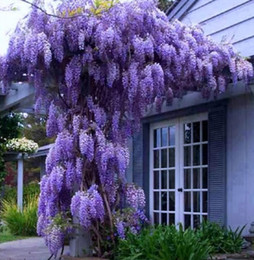 Wholesale if you order dress from our store House Wisteria Seeds