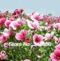 Wholesale flower seeds Marlowe sunflower seeds for garden
