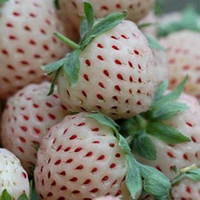 Cheap Garden plants free shipping White Strawberry Fresh seeds, Germination 95%+, free shipping, 100 seeds