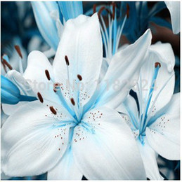 Wholesale Light BLue Lily Flower Seeds not lily bulbs