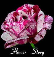 rose plants - 200 Purple Dragon Rose Purple Stripe Rose Bush Flower Seeds gorgeous DIY Home Rose plant