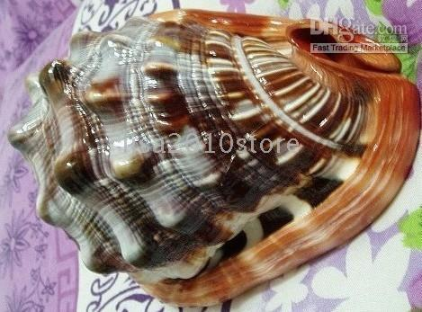 Wholesale 100 Natural Conch from South Sea without Artificial Process mm mm mm inch inch inch