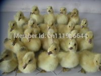 Wholesale ducks china online - Taxidermy of Real duck duckling Cute Stuff Bird BETTER QUALITY