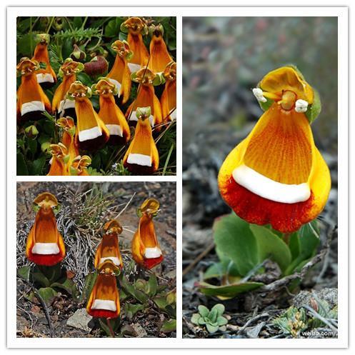 Calceolaria uniflora samen 100 STÜCKE Aliens blumensamen Garten DIY Bonsai Exotische Pflanze Blumensamen Einfach zu pflanzen Freies verschiffen