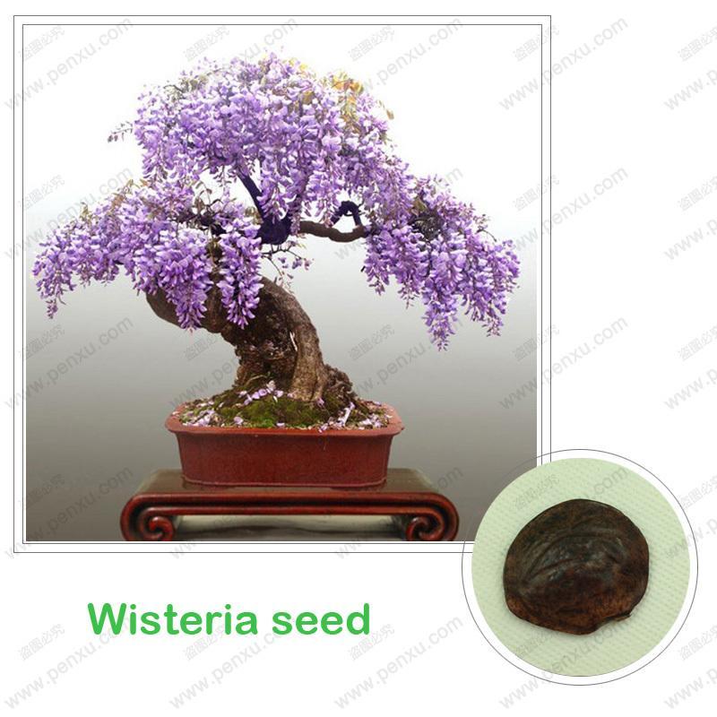 Семена глицинии, бонсай Дерево вистерии sinensis 100% истинное семя в натуральной форме, 10 шт / мешок