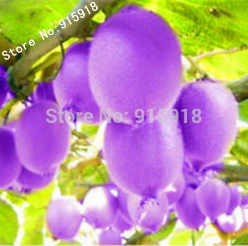 """Graines de fruits 100pcs Frais, Rare """"Purple Kiwi Seeds""""! Livraison gratuite!"""
