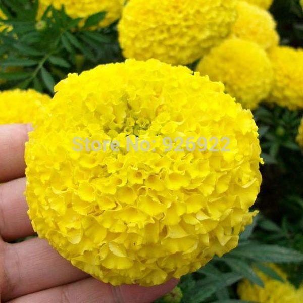 Горшечные семена цветов Tagetes erecta, желтые календулы ацтеков, семена хризантем клетчатые, около 50 частиц