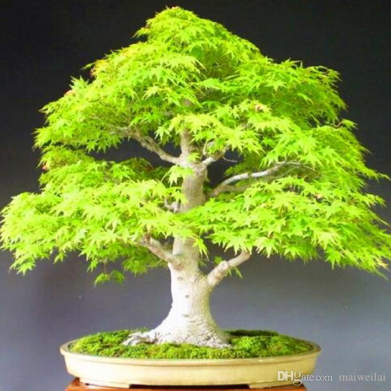 2021 2017 Promotion Pack Bonsai Maple Seeds Maple Tree Seeds Bonsai Seed The Budding Rate 90 Home Garden M00911 From Maiweilai 1 01 Dhgate Com
