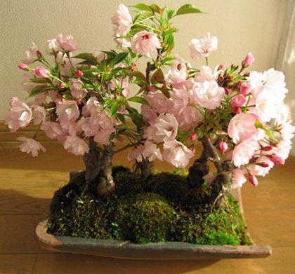 2021 Hot Sale Rare Japanese Sakura Bonsai Potted Garden And The Garden Plant Seeds Beautiful Japanese Cherry Tree Seeds From Shujuan1983 1 61 Dhgate Com