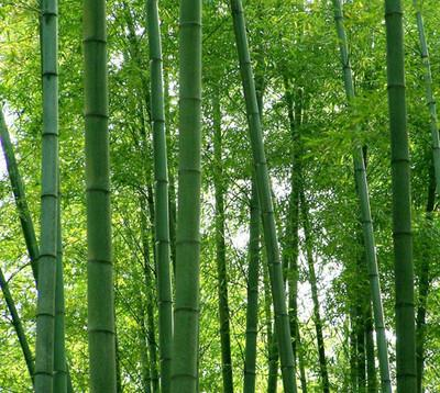 A Package 40 Pieces Fresh Giant Moso Bamboo Seeds for DIY Home Garden Plant