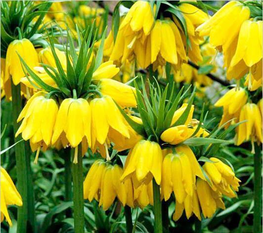 50 семена желтый Императорская Корона семена рябчик хонорифика Желтая семена легко выращивать растения