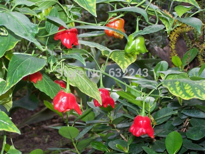 Diy 40 Seeds Non-Gmo Bishops Crown,Aji Pepper,Capsicum Baccatum Vegetable Seeds Free Shipping
