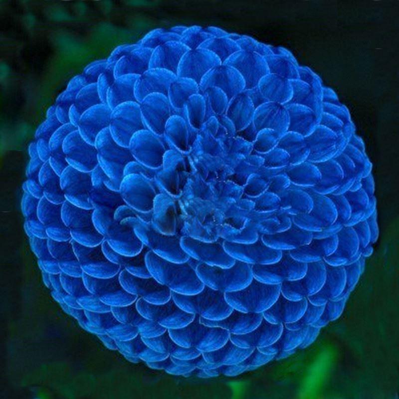 Hot Sale Unique Blue Fireball Dahlia Seeds Beautiful Flower Seeds Perennial Plant Dahlia Seeds - 100 PCS