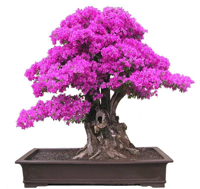 New Real Blooming Piante Piante Sementes De Flores 50 Semi * Bougainvillea Spectabilis Willd Semi di piante bonsai (b000077)