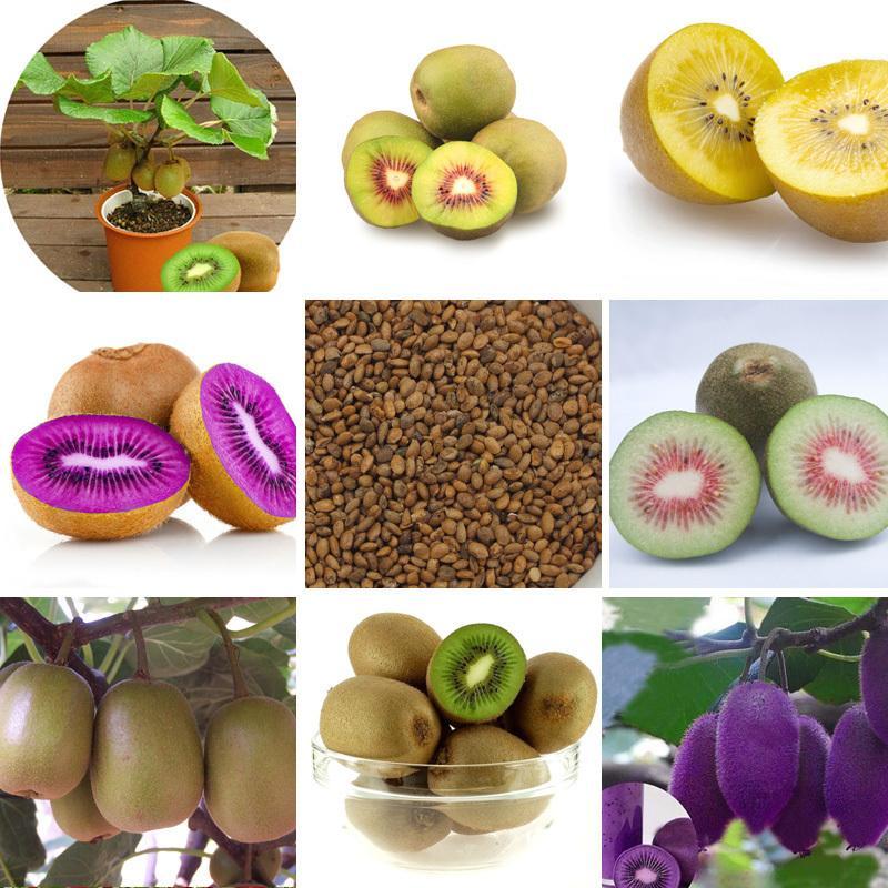 100 PCS Mini Actinidia Petite plante en pot Graines d'arbres fruitiers Belles graines de Kiwi Bonsai (rouge, jaune, vert, coeur violet)
