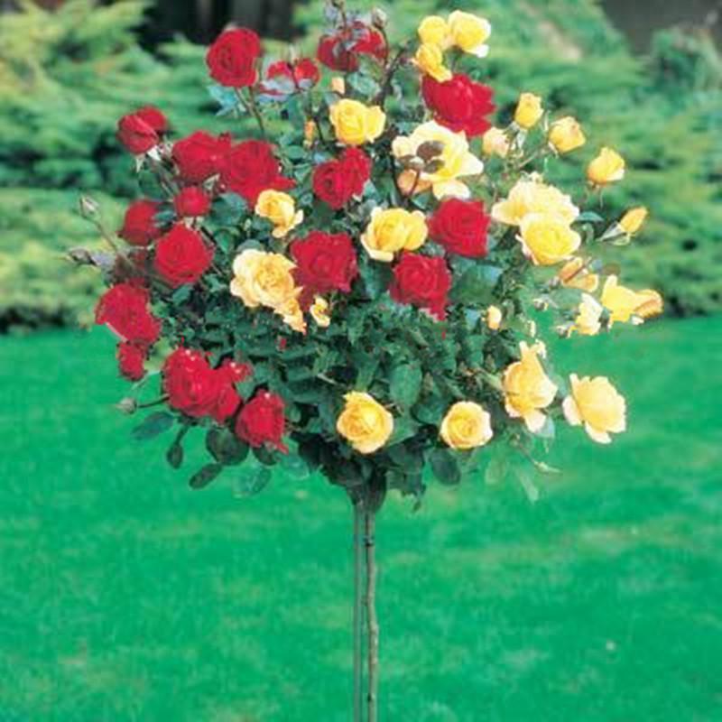 Редкий цветок розы семена деревьев, DIY Домашний сад в горшке, балкон двор цветок завод-10 шт. / лот