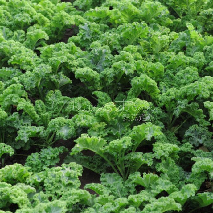 200 Seeds Kale Vates Blue Curled-