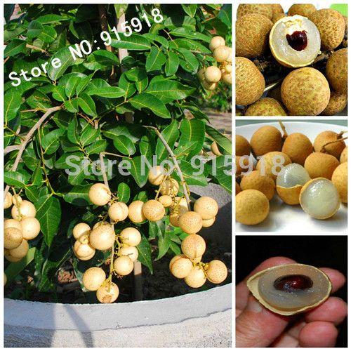 Редкий карлик Лонган Шри Chompoo ака Dragon Eye экзотические фрукты семена в контейнере
