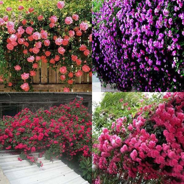 Новые Красивые Романтические 6 Разнообразие Цветов Восхождение Семена Роуз Роза Multiflora Многолетнее Домашний Декор Сада
