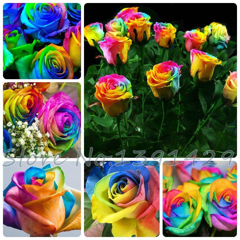 Envío gratis 100 semillas raras Holanda Rainbow Rose amante de la flor Multi-color de plantas jardín casero raro arco iris rose semillas de flores