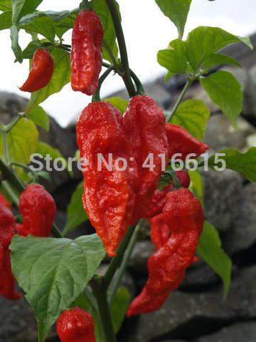 Bih Jolokia - Chilli Pepper - Capsicum Chinense - Hot & Rare - 50 Bonsai Vegetable Seeds - Extremely Hot !