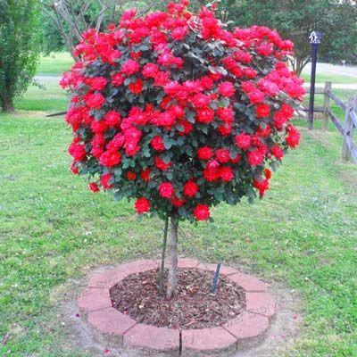 50 graines de rosier rouge, magnifique de couleur vive, bricolage maison de jardin en pot, balcon cour fleur plante livraison gratuite