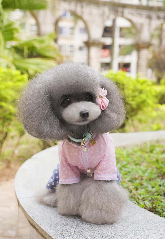 Pet Supplies Teddy Dog Apparel Bloemde Patronen in Gouden Draad Vrouwelijke Hond T-shirts Puppy Hond Kleren Lente Zomer Shirts