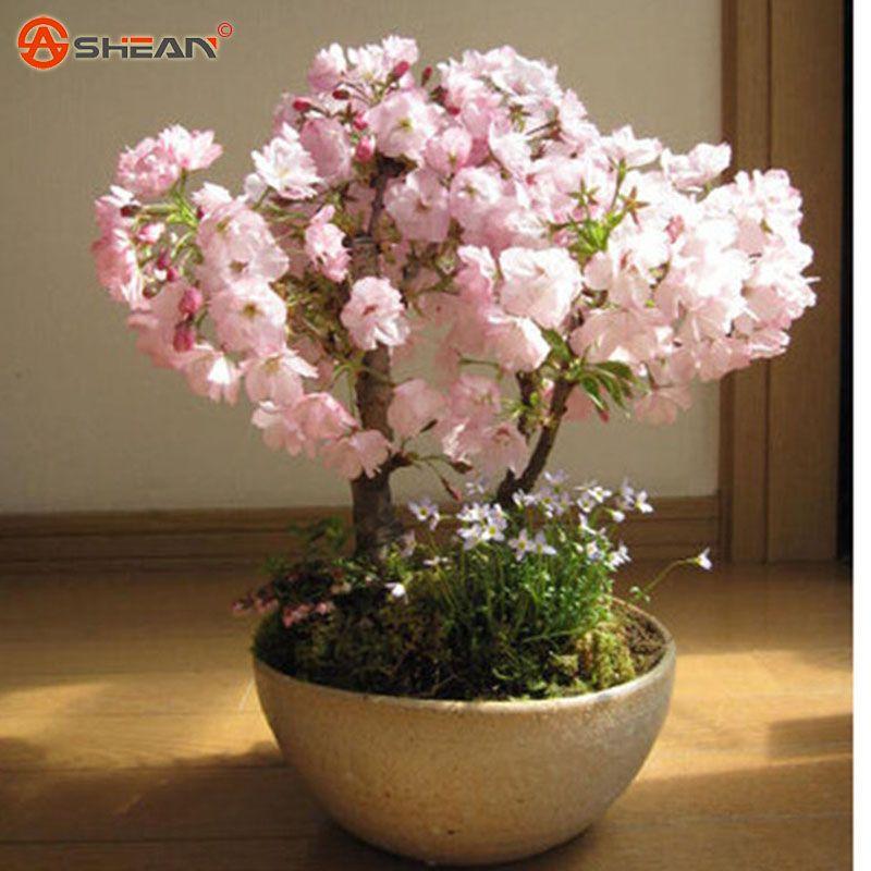 Японский Сакура семена вишни семена японской вишни Cerasus Yedoensis Biji, бонсай семена цветов падение доставка - 10 шт.