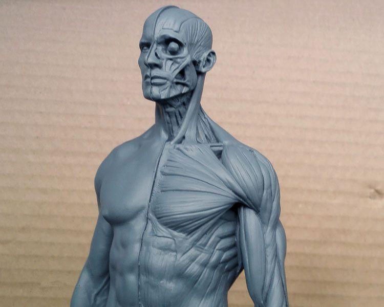2018 1:6 30cm Human Model Anatomy Skull Head Muscle Bone Magnet ...
