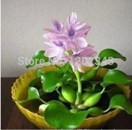 100 шт. водяной гиацинт семена , и семена горшок, семена цветов ( смешанные цвета )