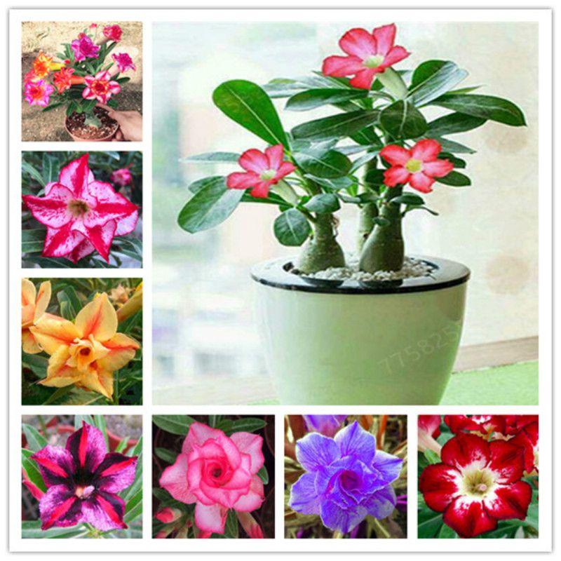 5 adet / lot Desert Rose Tohumları Bonsai Süs Bitkileri Adenium obesum 2020 Yeni Geliş Bonsai Güzel Çiçek bitkiler