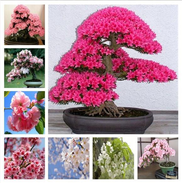 2021 Rare Sakura Bonsai Flower Seeds Cherry Blossoms Tree Cherry Blossom Bonsai Plants For Home Garden Bonsai Shipping From Ymhpjq1 1 21 Dhgate Com