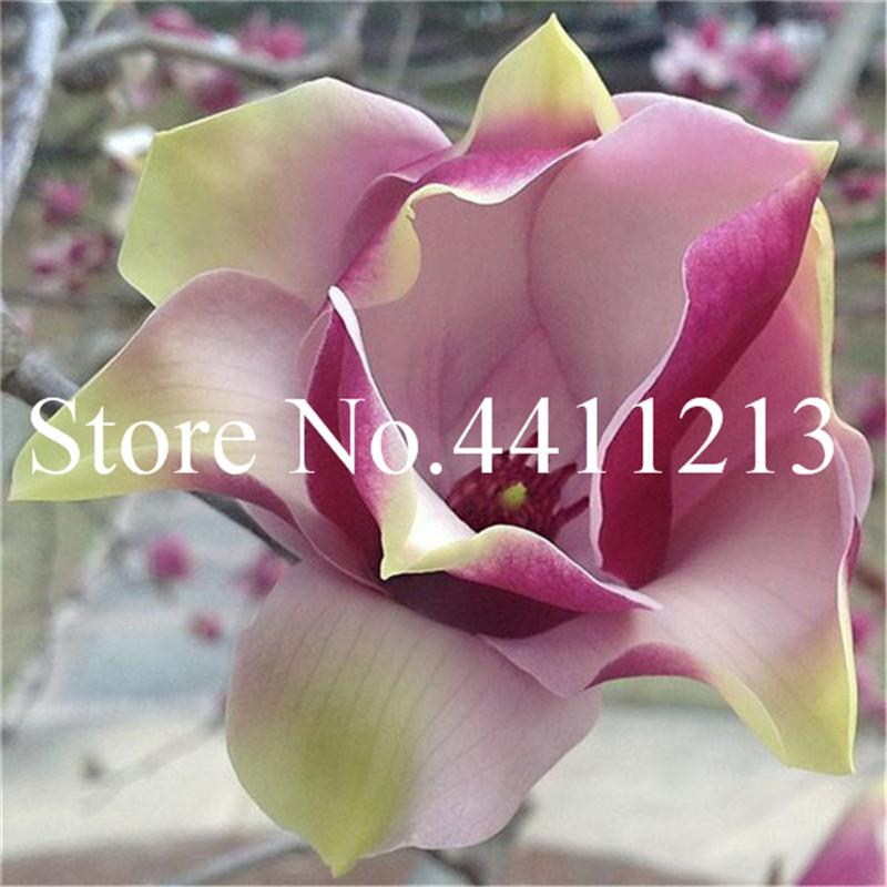 2021 Bonsai Magnolia Plant Magnolia Tree Bonsai Plant Seeds Beautiful Flower Plant Indoor Or Ourdoor Potted Plants Diy For Home Garden From Ymhzdy 0 8 Dhgate Com