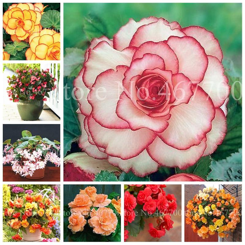 2020 Bonsai Bag Seeds Exotic Rieger Begonia Beautiful Potted Multi Flap Flower Decor Home Garden Coleus Indoor Plant Easy Grow From Ymhzpy 1 66 Dhgate Com