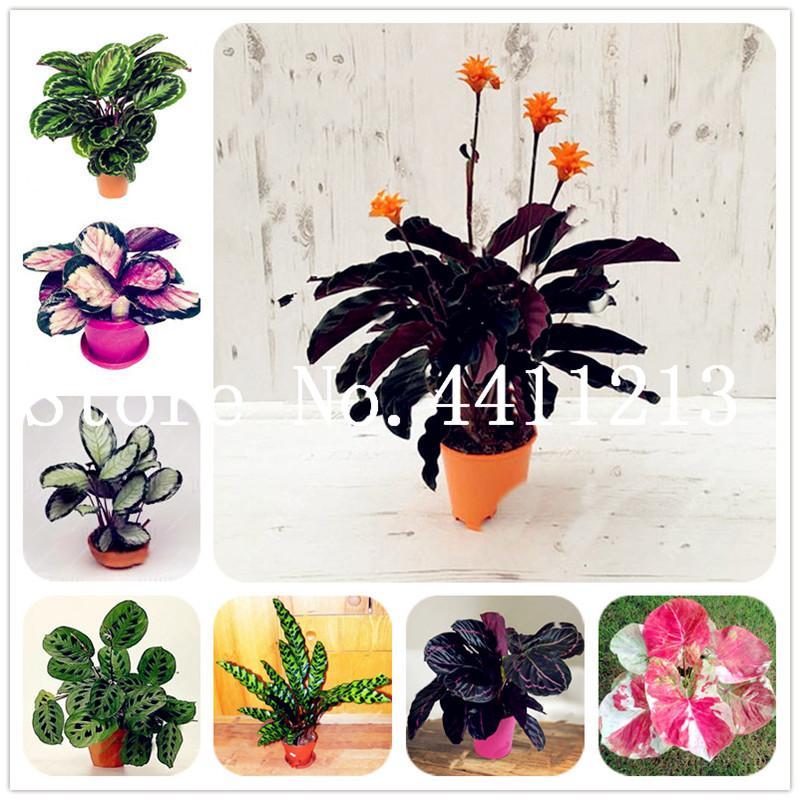 200 개 / 가방 태국 Caladium 분재 식물 씨앗 다년생 꽃 정원의 씨앗 화분 식물 Caladium DIY 홈 가든 분재 공장 성장하기 쉽습니다.