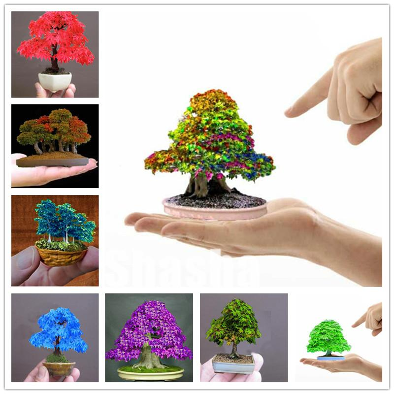 2020 2020 Hot Sale New Arrival Seeds Plant Bonsai Flowers Potted Gift Maple Bonsai Tree Plants Japanese Maple From Ymhzdy 1 37 Dhgate Com