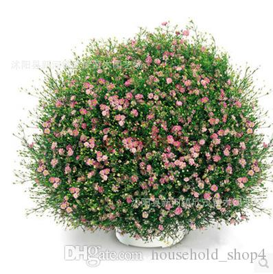 500g beautiful flower seeds Babysbreath white pink rose red colors plant seed for familiy garden balcony