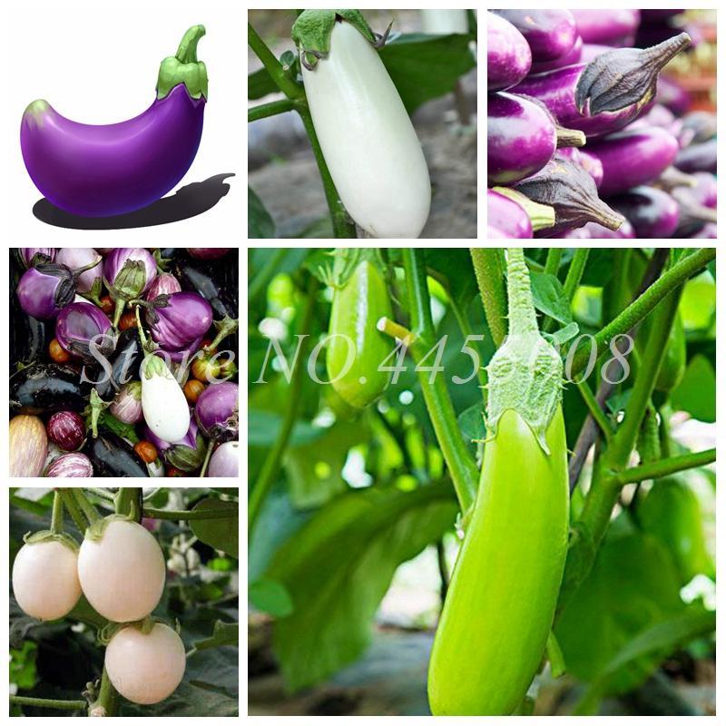 400 PC를 씨앗 희귀 그린 퍼플 레드 가지 분재 - 홈 정원 다이아몬드 유기 러시아어 가보 야채 비 GMO 식물