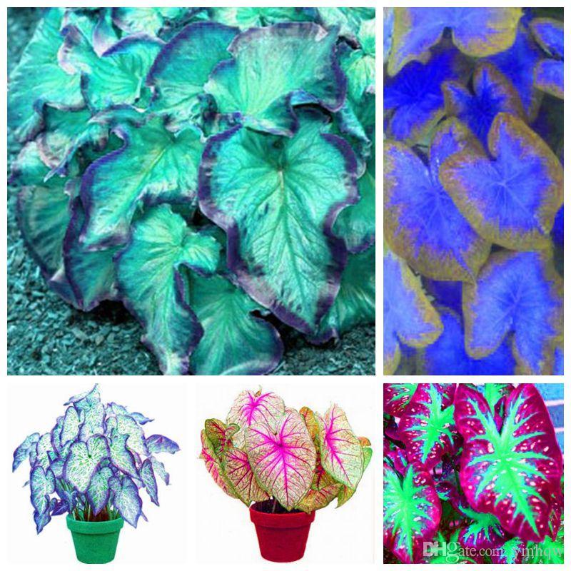 Grande Venda 30 Pcs Caladium spp Sementes de Plantas de Interior Florida Caladium Bicolor Sementes Bonsai Colocasia Planta Raras Sementes de Flores para Casa Jardim