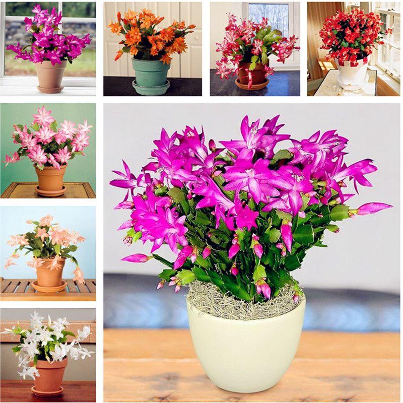 100 Adet Epiphyllum Tohumları, Kapalı Bonsai Tohumları, Güzel Çiçeklenme için Kaktüs Tohumları Doğal Büyüme Ev Bahçe Etli Bitki