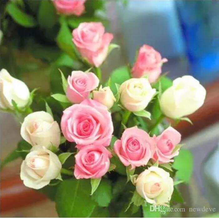 Senza menta di spedizione gratuita e semi di rosa viola * 100 pezzi semi per confezione * Nuovo arrivo Ombre Piante da giardino di Charme