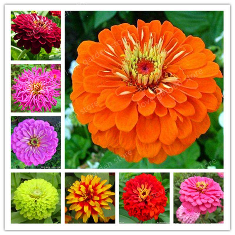 Promotion de perte! Zinnia Bonsaï Plantes À Fleurs Vivaces Plantation Facile En Pot Charme Chinois Fleurs Jardin 100 Pcs / Sac