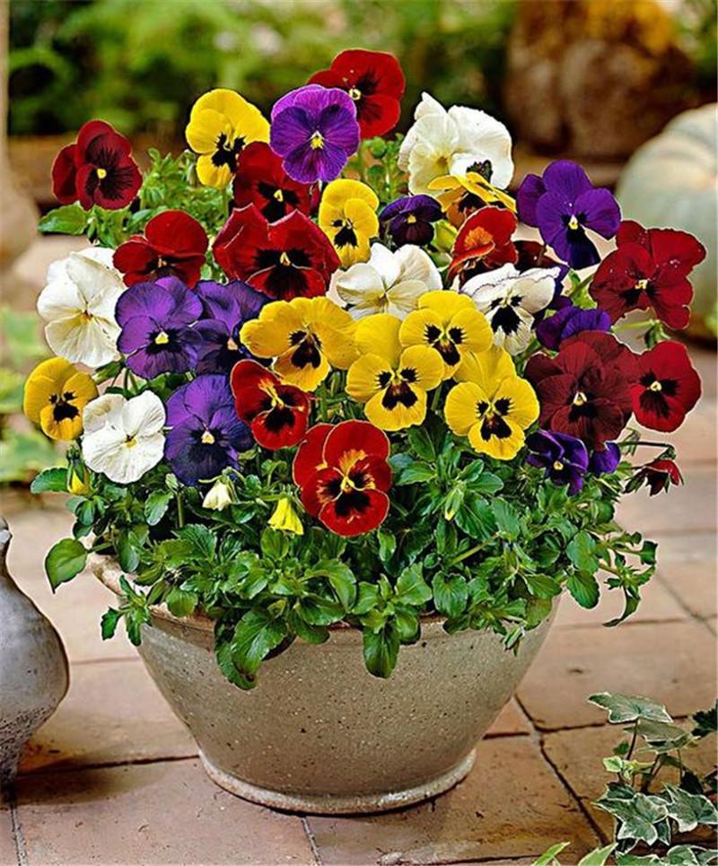 100 adet / paket Mini hercai menekşe tohumları Mix Renk Dalgalı Viyola Tricolor Çiçek Tohumları Ücretsiz Kargo DIY ev bahçe için bonsai saksı Bitki