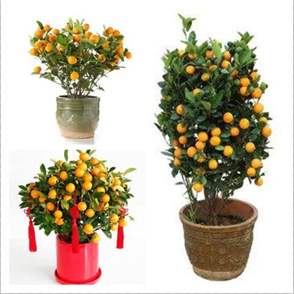 2021 Bonsai Orange Potted Edible Tangerine Citrus Fruit Dwarf Orange Tree Indoor Plant For Home Garden Non Gmo Plants From Ymhqw1 1 13 Dhgate Com