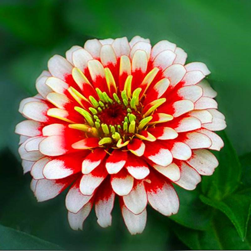 1 пакет оригинальная упаковка Улучшенная Зиння Семена бонсай Горячая распродажа! Редкие моющиеся Plantas для сада Home Garden Flores Indoor Цветочные растения NO5
