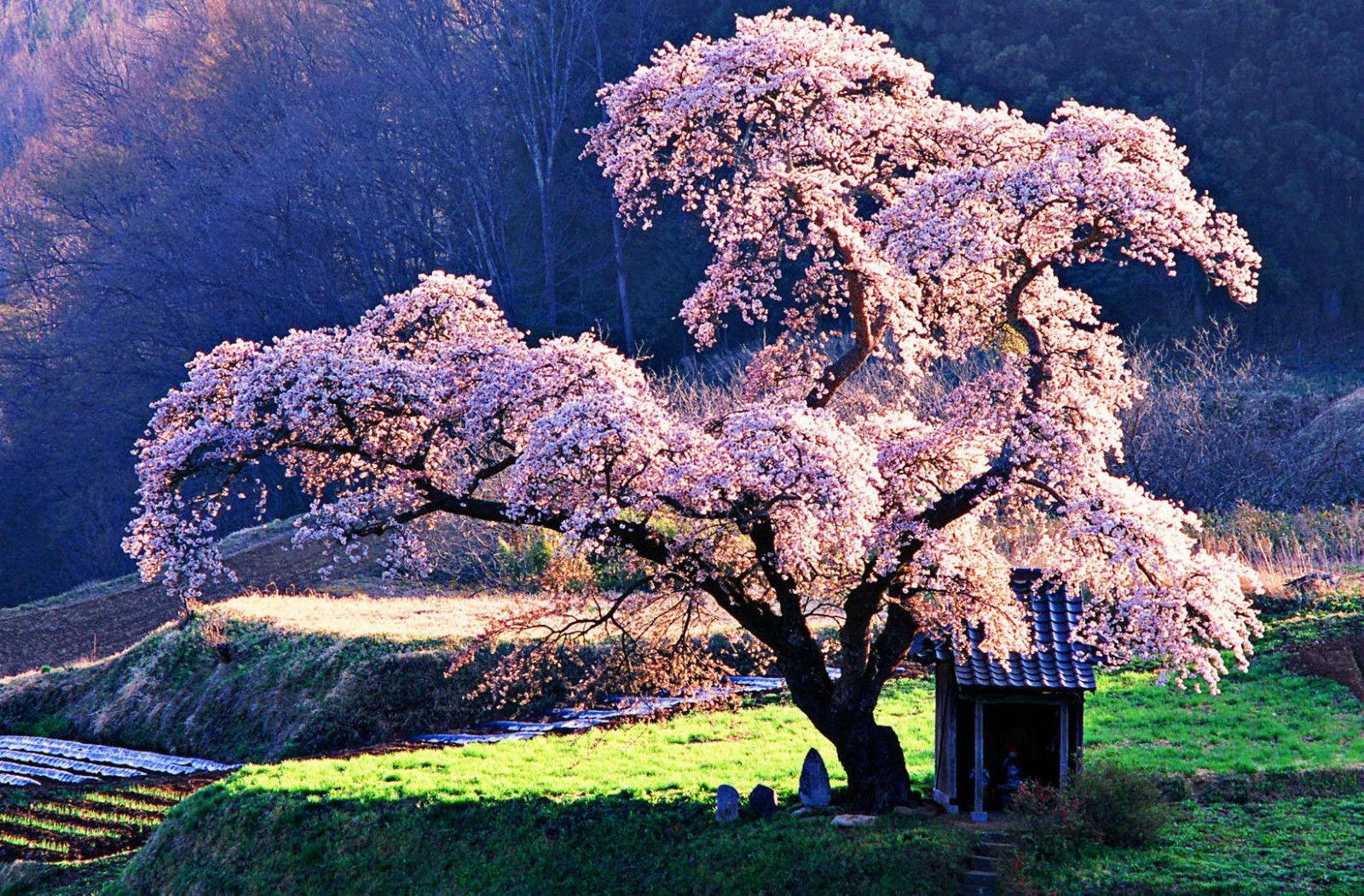 2020 Oriental Cherry Blossom Tree In A Japanese Park Art Silk Print