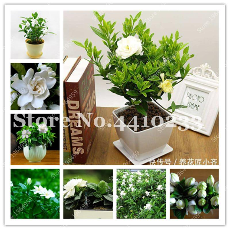 2021 Bonsai Gardenia Jasminoides Flowers Outdoor Fragrant Flowers White Cape Jasmine Blooming Flore Dwarf Tree For Home Pots From Ymhqw1 1 01 Dhgate Com